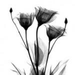 flores-negras-150x150.jpg
