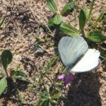 mariposa-blanca-150x150.jpg