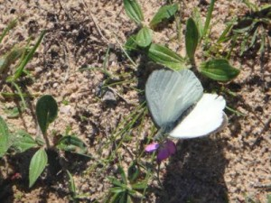 mariposa-blanca-300x225.jpg