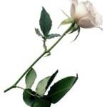 rosa_blanca-150x150.jpg