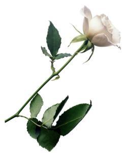 rosa_blanca.jpg